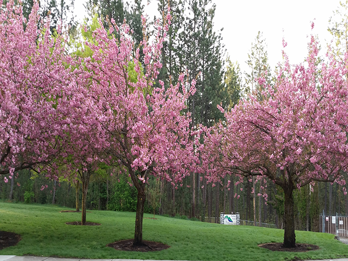Polities Park flowering trees